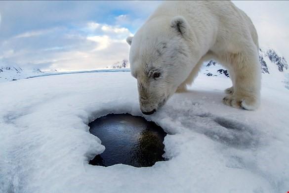 ijsbeer 1